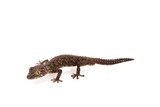 Eastern Soft-spined Gecko poster
