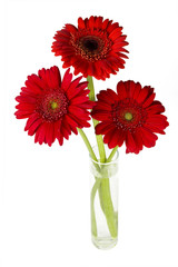 red daisy-gerbers in vase on the white background