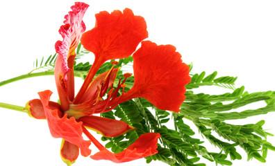 flamboyant tropical, Delonix regia fleur feuille fond blanc