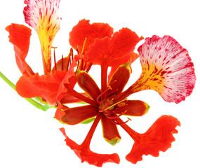 flamboyant tropical, Delonix regia fond blanc