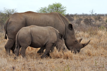 mother rhino with calf in Kruger national park,South Africa