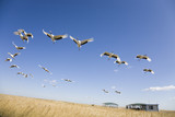 migrating cranes poster