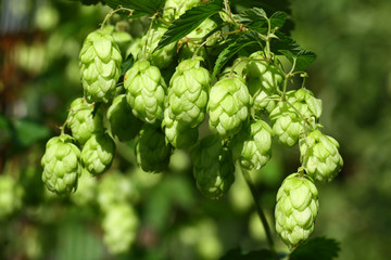 Detail of the green hops