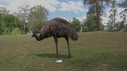 Emu -  Wide Shot