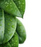 Fototapeta liście - granica - Roślinne