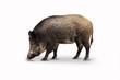 Leinwanddruck Bild - Wildschweine 14