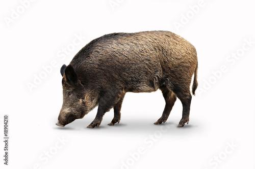 Leinwanddruck Bild Wildschweine 14