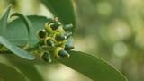 Lovely green unripe fruit flower poster
