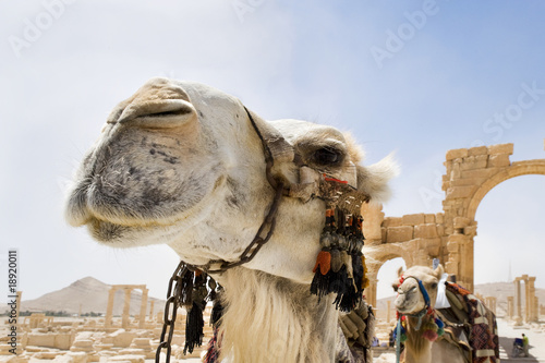 Camels in the roman ruins of Palmyra, Syria