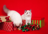 Ragdoll cats investigating gift boxes poster