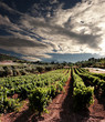 dramatic sky on rows of vines