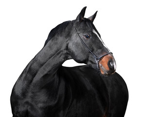 Isolated horse on white background