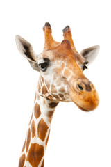 Closeup portrait of giraffe over white background