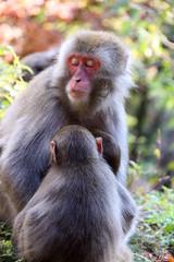 日本猿の居眠り