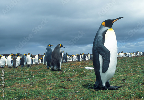Colony of emperor pinguins