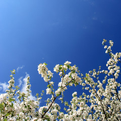 white flowers(apple-tree), spring, Poland