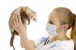 The veterinary surgeon examines a polecat.