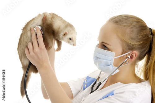 The veterinary surgeon examines a polecat.