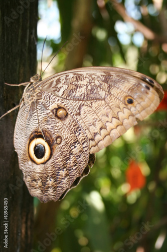 butterfly with a big eye