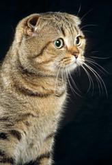 tête de chat scottish fold de trois quart en studio