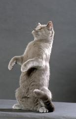british shorthair assis sur le derrière - posture humaine