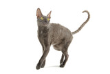 cornish rex cat isolated on white