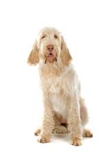 Spinone Italiano ,Italian pointer dog isolated on white