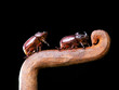 Horn beetles