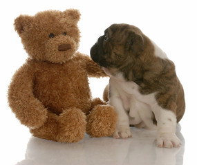 best friends - bulldog puppy being comforted by teddy bear
