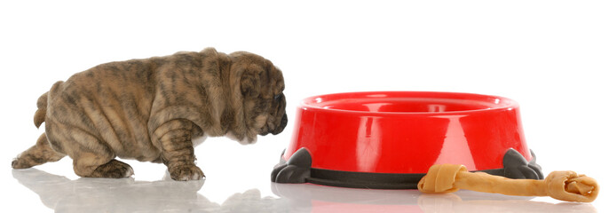 very small bulldog puppy walking up to large dog food dish