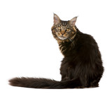 Maine Coon, 7 months old, sitting in front of white background poster
