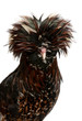 Tollbunt tricolor Polish Rooster, in front of white background