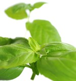 Basil leaves, close-up view