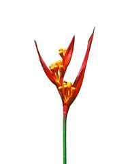 Parakeet flower ( Heliconia psittacorum )