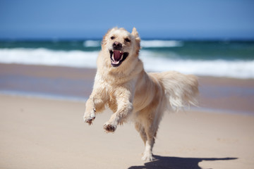 Excited golden retriever running on the beach