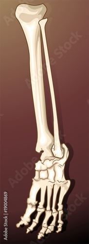 Illustration of a human leg bone