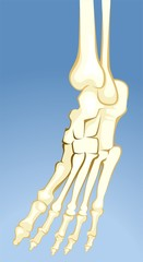 Illustration of human leg bones