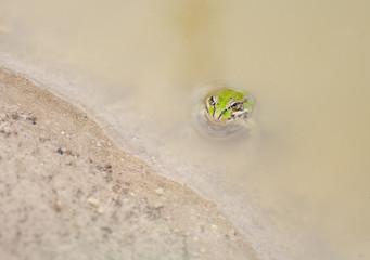 frog pelophylax perezi
