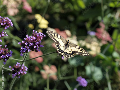 machaon en équilibre