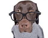 Intelligent Looking Chocolate Labrador poster
