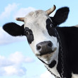 Quadro Cow