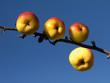 Pommes dans le ciel de décembre.