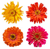 collection of Zinnia elegans