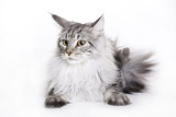 White-Silver Maine Coon cat on white background poster