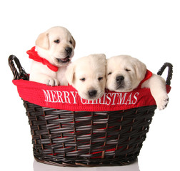 Three Christmas puppies