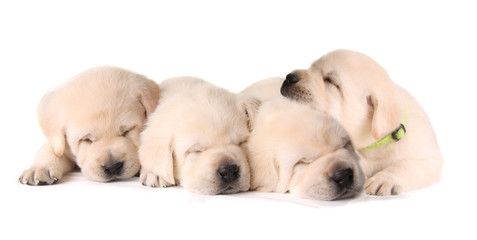 Four sleeping labrador puppies