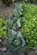 Verze - Brassica oleracea sabauda