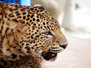 Big cat. Wild African Leopard