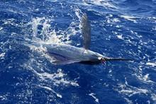 Atlantic biały marlin gry big wędkarstwo sportowe