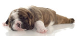 red brindle puppy laying down - three weeks old poster